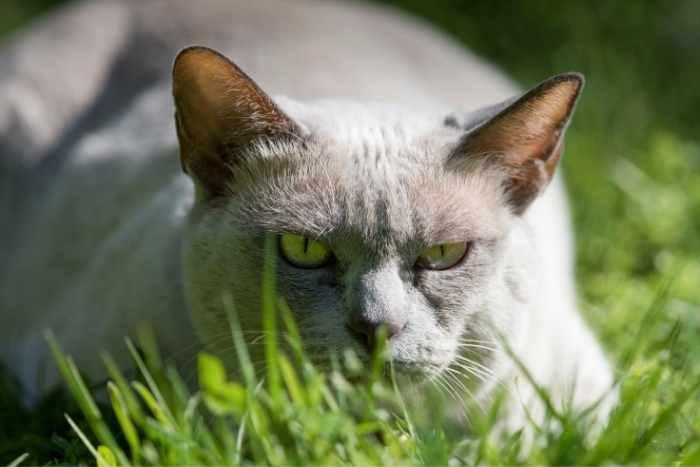 gato tonkinés en la hierba