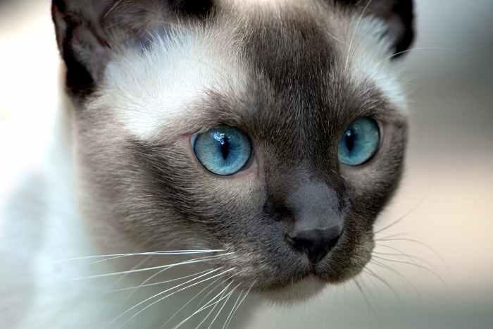 gato de cabeza tonkines, con ojos azules y se parece al burmes