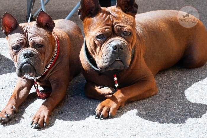 dos perros de la raza Chongquing