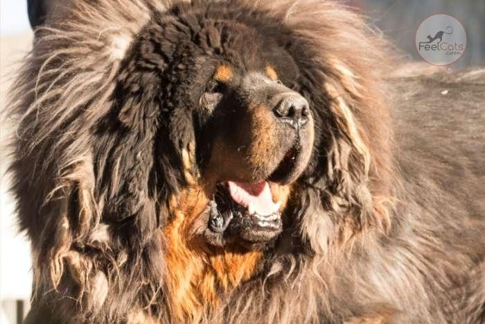 gran Mastín tibetano es un perro chino