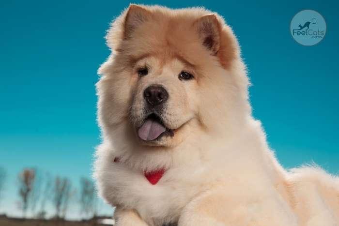 Chow Chow de la razas de perros de originarios china