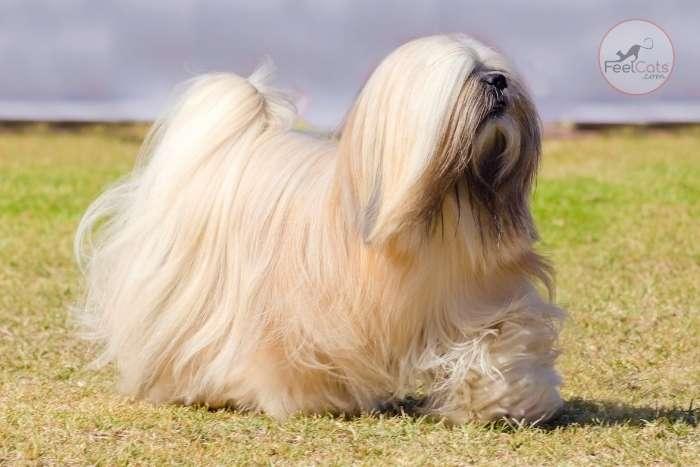 Lhasa apso es una raza de perro chino