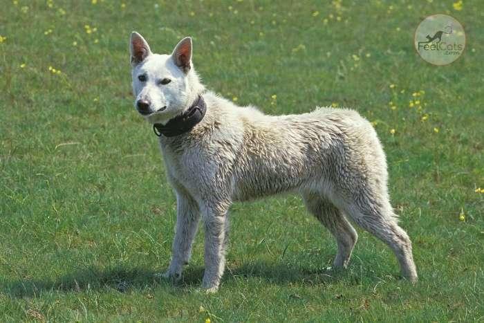perro japonés Kishu Inu