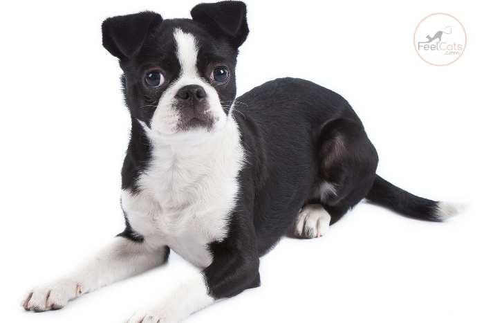 perro Terrier Japonés