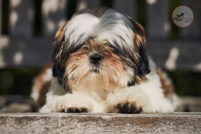 perro chino Shih Tzu