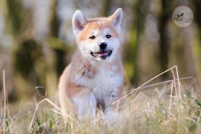 perro akita inu
