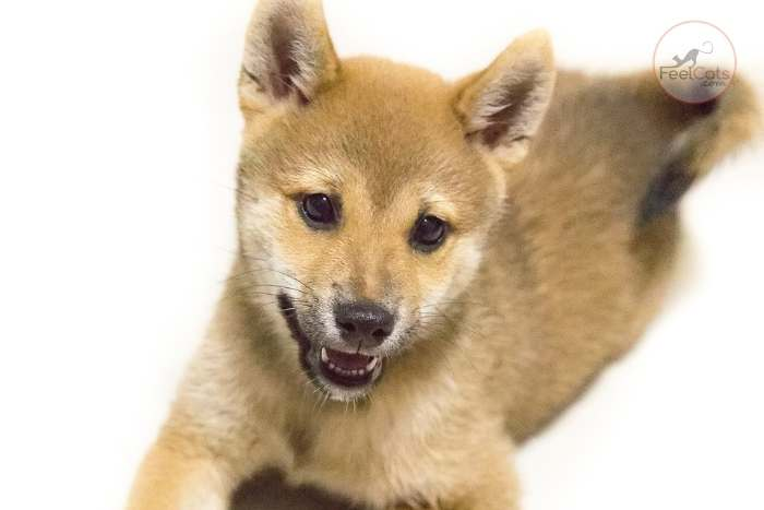 perro japonés cachorro