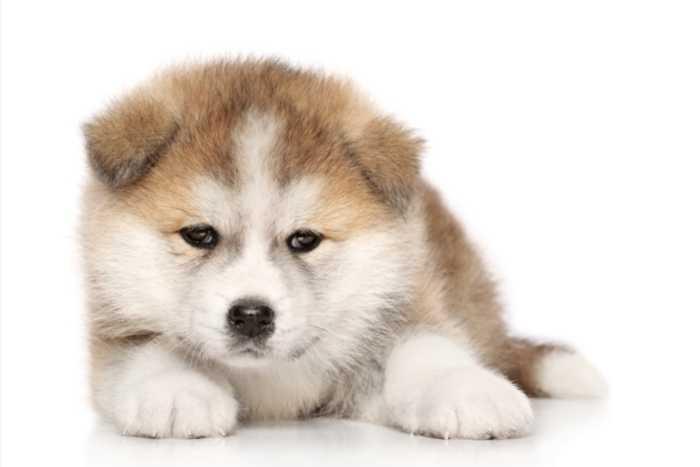 perrito akita inu bebe