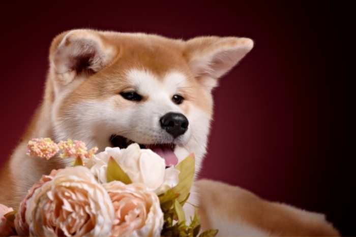 joven akita inu, con flores