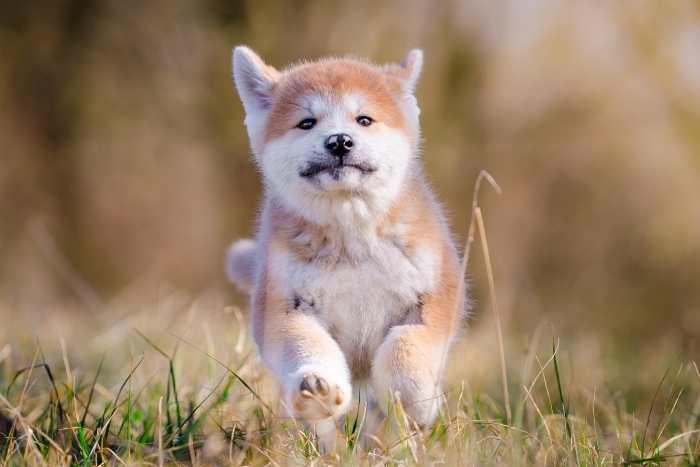 perro akita inu joven, jugando