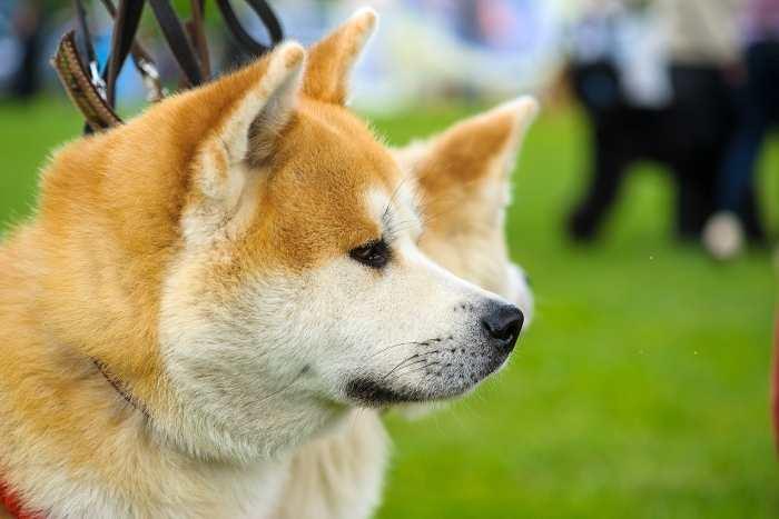 el akita inu es un perro fiel