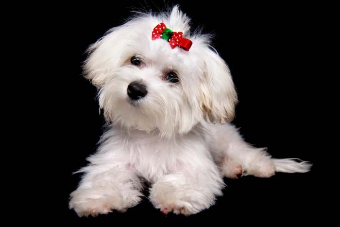 perro bichón maltés, pequeño y blanco